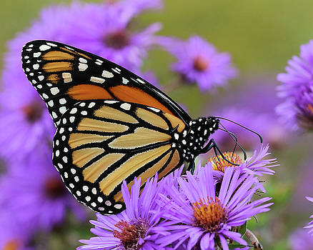 Monarch Among the Asters by Doris Potter