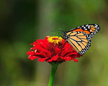 Edward Sobuta - Monarch and Cone Flower