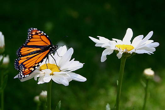 Monarch and Shasta Dasies by L J Penrod