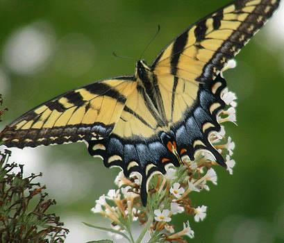 Monarch Beauty by Al Smith