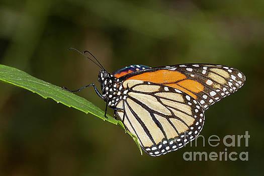 Monarch by Bryan Keil