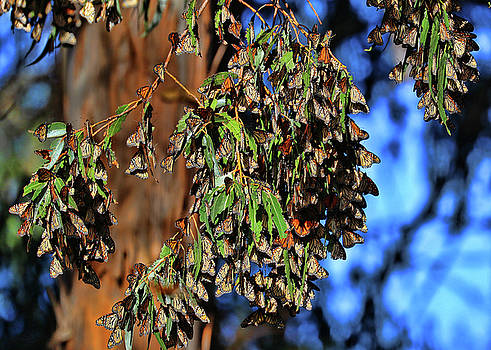 Monarch butterflies of Pismo 2 by Stephanie Laird