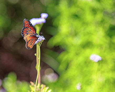 Susan Schmitz - Monarch Butterflies on Wildflowers