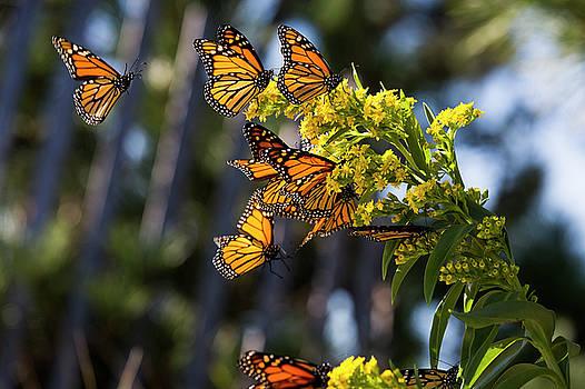 Monarch Butterflies1 by Ryan Moore