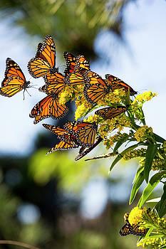 Monarch Butterflies2 by Ryan Moore