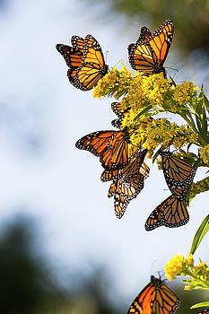 Monarch Butterflies3 by Ryan Moore
