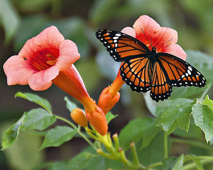 Monarch Butterfly by Bill Perry