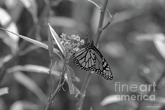 Monarch Butterfly-BW by Tannis Baldwin