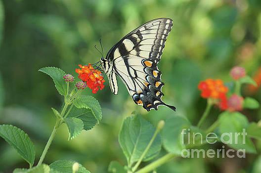 Monarch Butterfly by Debra Crank