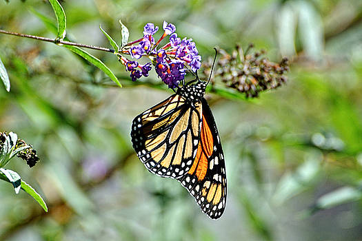 Edward Sobuta - Monarch Butterfly