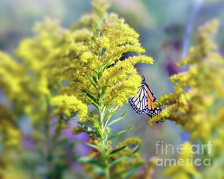 Monarch Butterfly in Goldenrod by Kerri Farley New River Nature