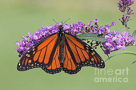 Monarch butterfly by Jim Wright