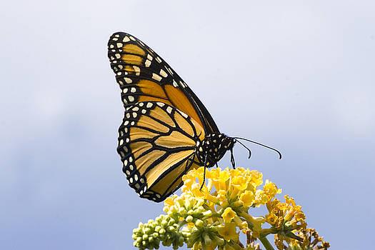 Monarch Butterfly by John Holloway