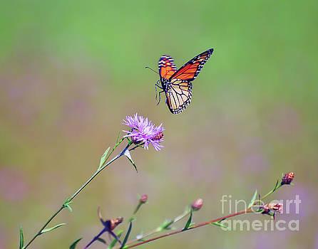 Monarch Butterfly Landing by Kerri Farley