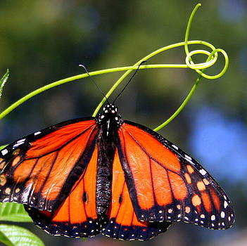 Monarch Butterfly by Laurel Talabere
