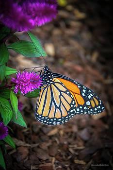 Monarch Butterfly by LeeAnn McLaneGoetz McLaneGoetzStudioLLCcom