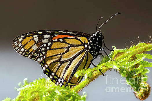 Monarch Butterfly by Mariola Bitner