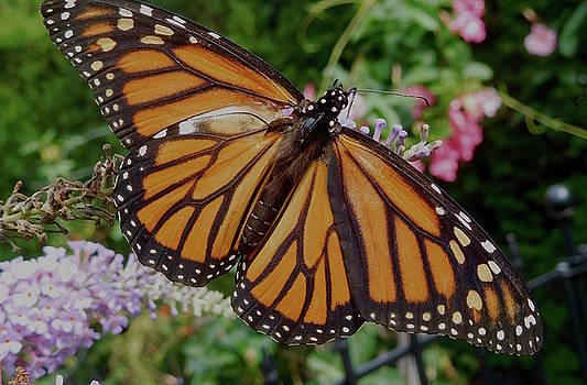 Monarch Butterfly by Melinda Saminski