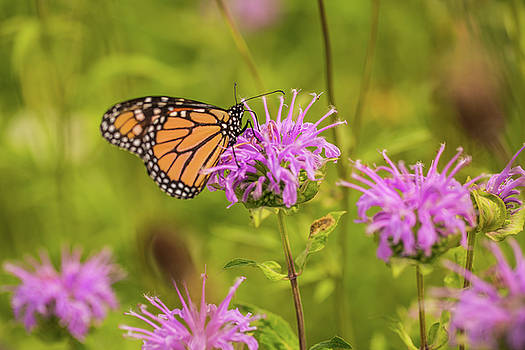 Monarch Butterfly on Bee Balm Flower by Carol Mellema