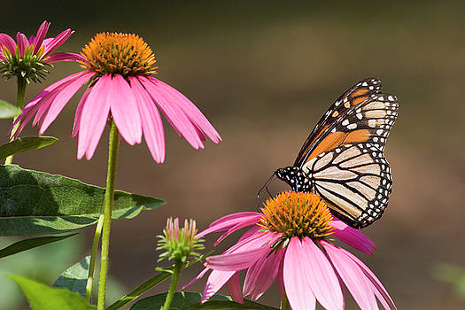 Jill Lang - Monarch Butterfly on Cone Flowers
