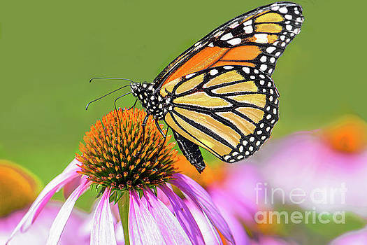 Regina Geoghan - Monarch Butterfly  on Coneflower