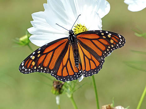Monarch Butterfly on Cosmos by Susan Kline