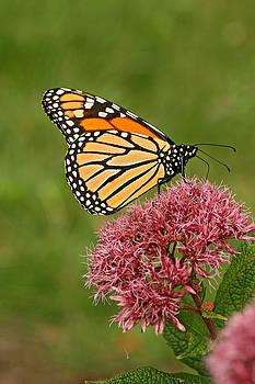 Monarch butterfly on Joe-pye Weed by Doris Dumrauf