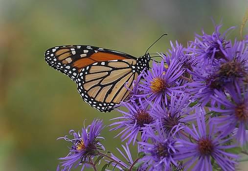 Joe Duket - Monarch Butterfly on Late Purple Asters