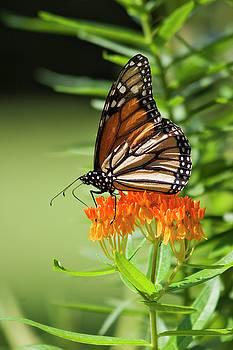 Jill Lang - Monarch Butterfly on Milkweed