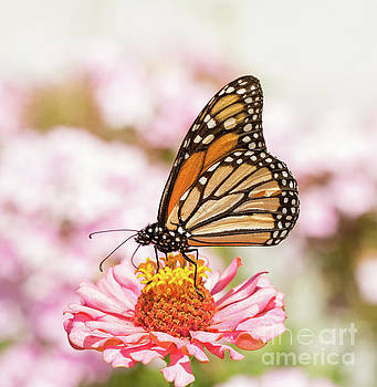 Monarch butterfly on Pink by Sari ONeal