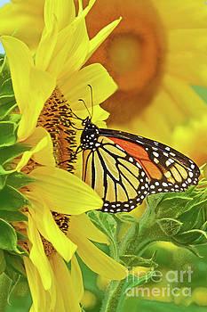 Regina Geoghan - Monarch Butterfly on Sunflower