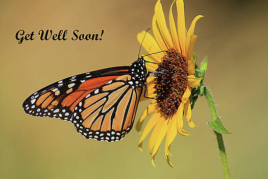 Monarch Butterfly On Sunflower Greeting Card by Sheila Brown