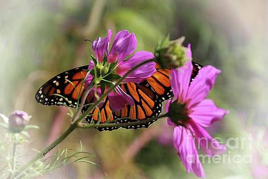 Monarch butterfly on the Pink Cosmos by Yumi Johnson
