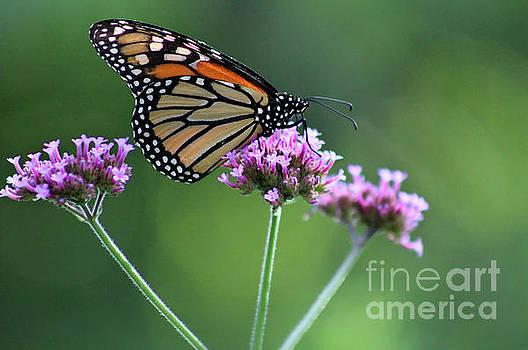 Monarch Butterfly on Three Verbena Flowers 2017 by Karen Adams