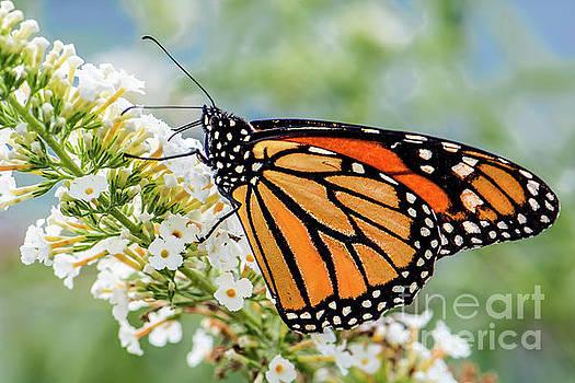 Regina Geoghan - Monarch Butterfly on White Butterfly Bush Flower