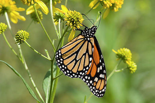 Jill Lang - Monarch Butterfly on Wildflowers