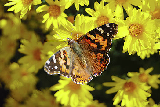 Monarch Butterfly on Yellow Mums by Eneida Gastal-Keith