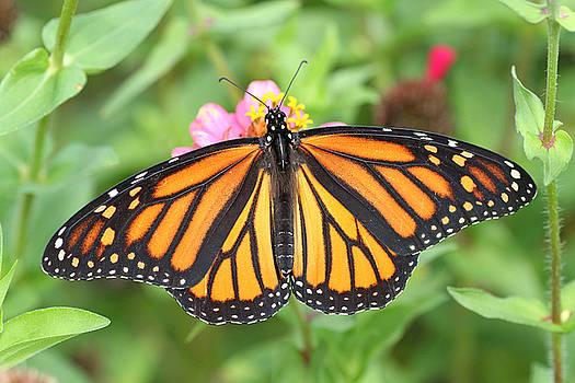Monarch butterfly on zinnia by Doris Dumrauf