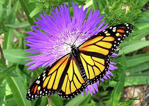 Monarch Butterfly Purple Pixie Flower by Maxwell