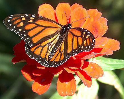 Racquel Morgan - Monarch Butterfly