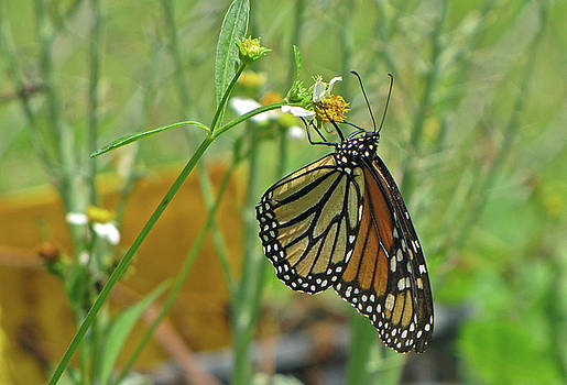 Monarch Butterfly by Richard Nickson