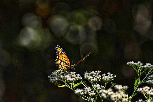 Monarch Butterfly by Rick Friedle