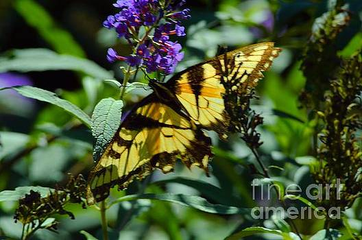 Robyn King - Swallowtail Butterfly