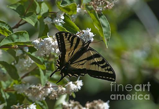 Rod Wiens - Monarch Butterfly