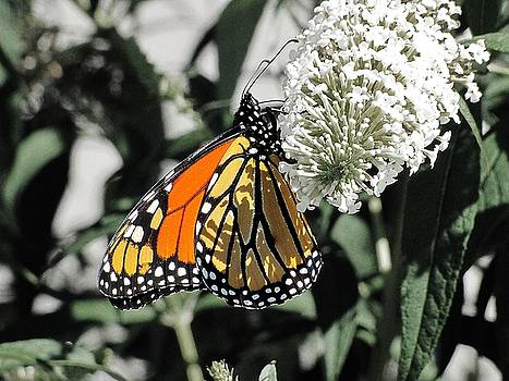 Scott Hovind - Monarch Butterfly