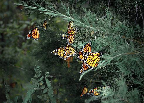 Nikolyn McDonald - Monarch Butterfly - Staging - 1