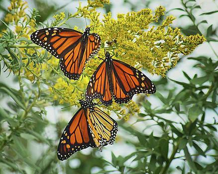 Nikolyn McDonald - Monarch Butterfly - Trio