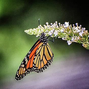 Monarch Butterfly by Winnie Chrzanowski