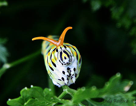 Monarch Caterpillar by Brenda Redford