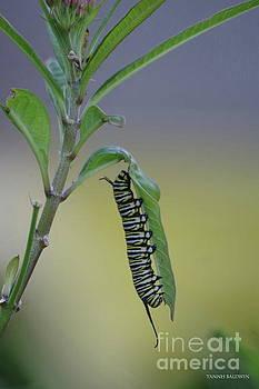 Monarch Caterpillar Feeding by Tannis Baldwin